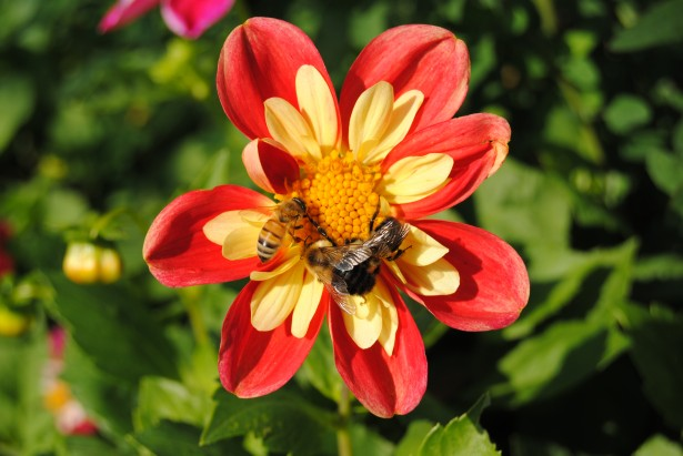 bee-and-bumblebee, source: http://www.publicdomainpictures.net/hledej.php?hleda=bumble+bee