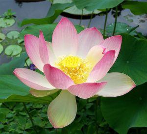 source: https://en.wikipedia.org/wiki/File:Sacred_lotus_Nelumbo_nucifera.jpg